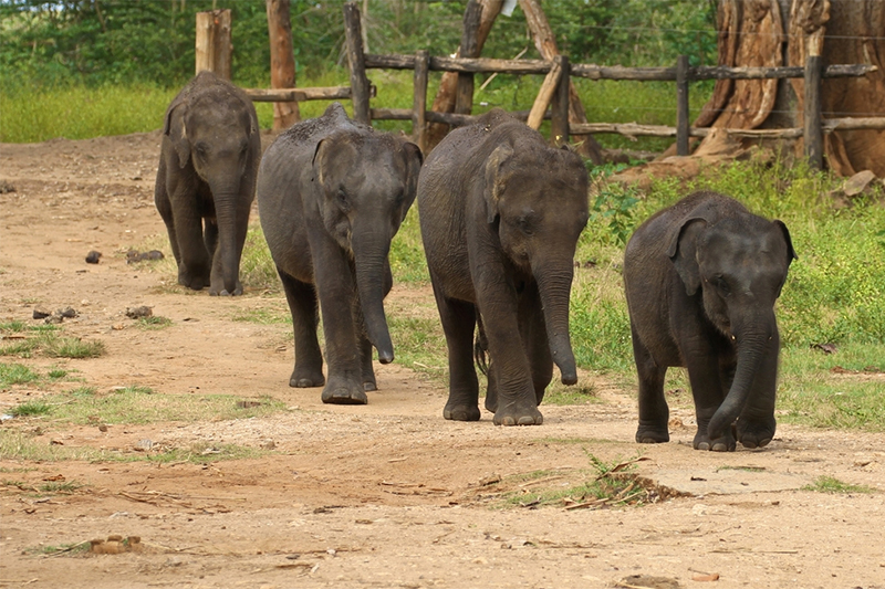 DAY 09 - ELEPHANT TRANSIT CENTER | GALLE  (APPROX TRAVEL TIME 2 HRS & 15 MIN)